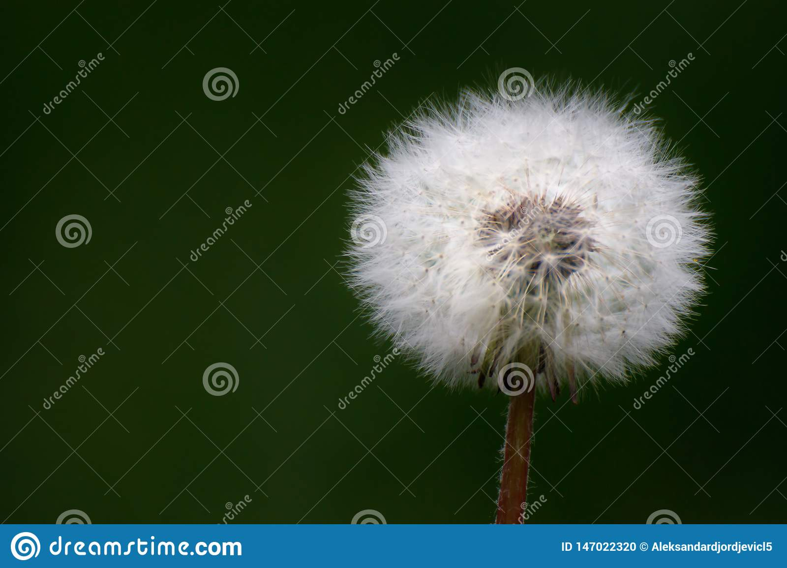 Dandelion flower close up with blurred background