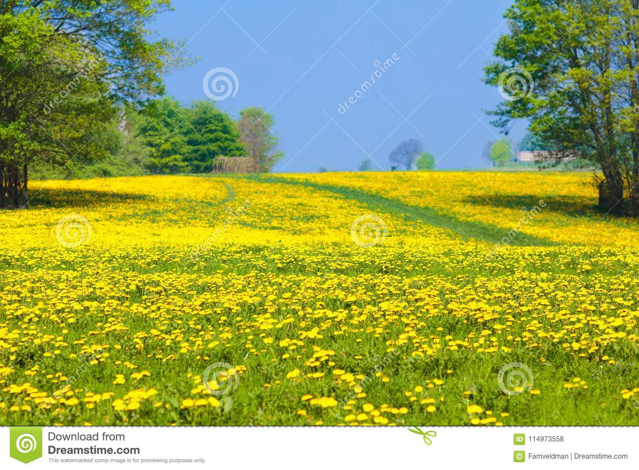 dandelion flower field. summer dandelions meadow. stock photo