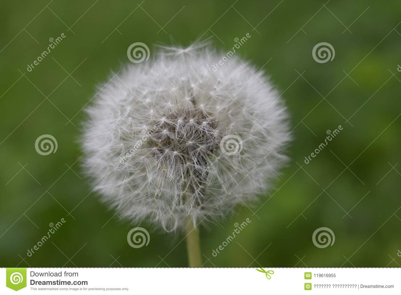 A dandelion flower head composed of numerous small florets top