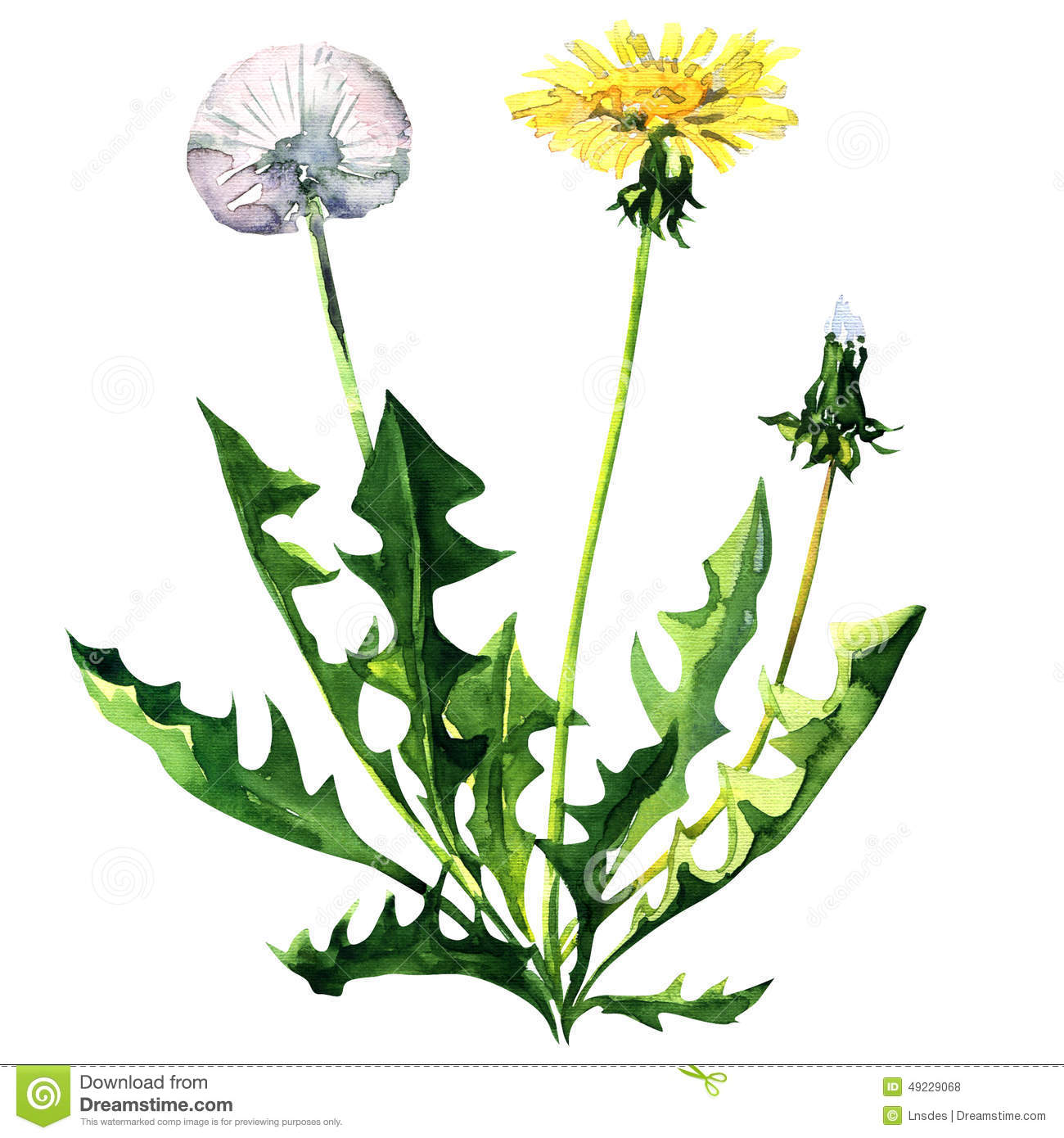 Dandelion flower isolated on a white background stock illustration dandelion flower isolated on a white background mightylinksfo