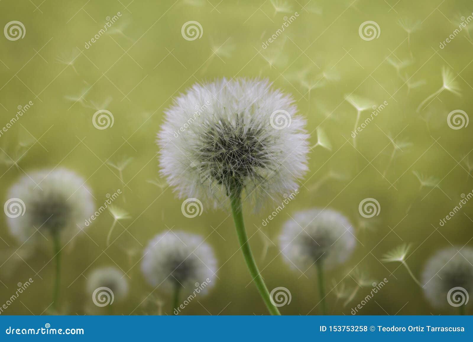 Single Dandelion Seedling Clip Art