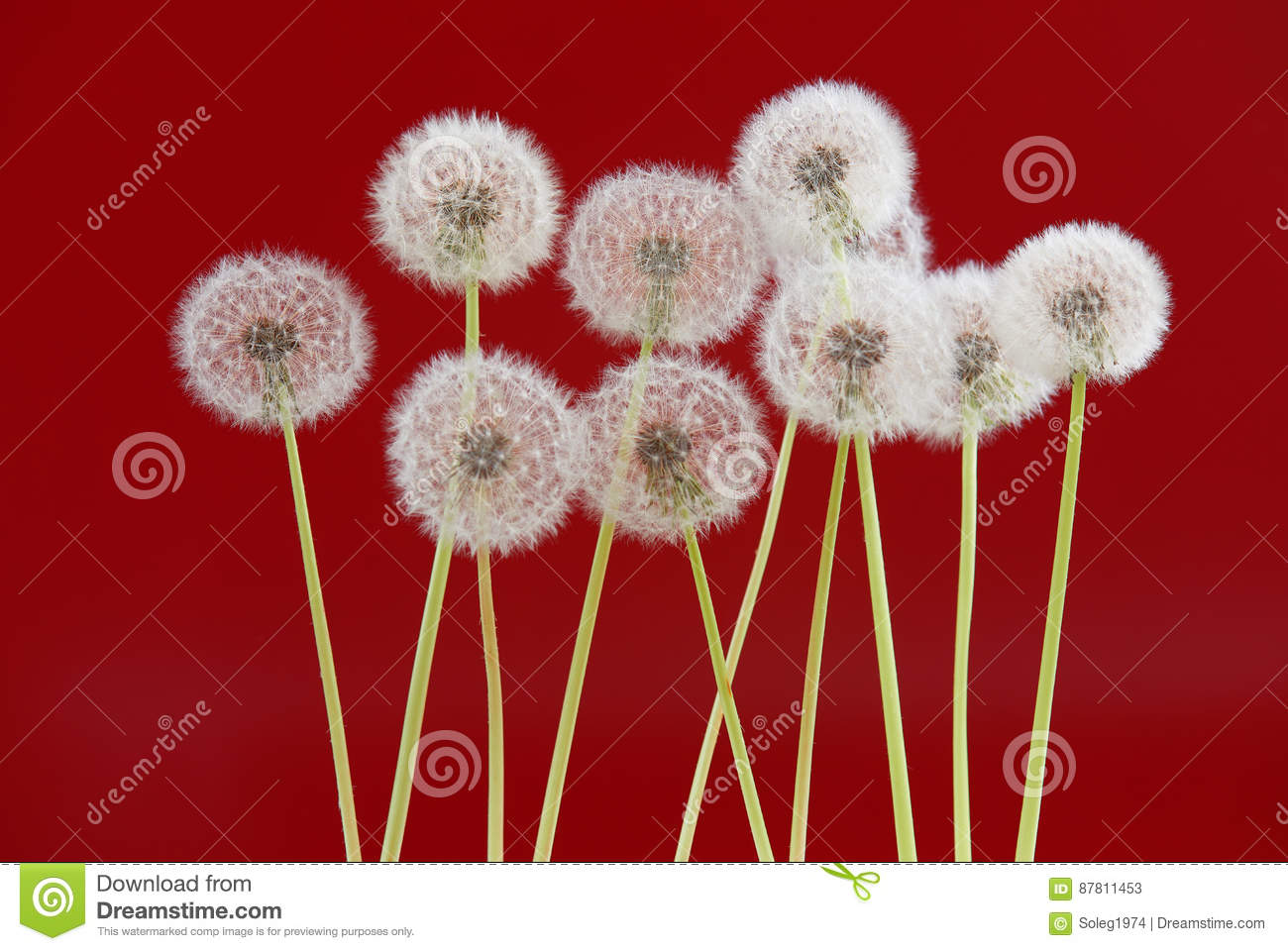 Dandelion Flower On Red Color Background, Object On Blank Space ...
