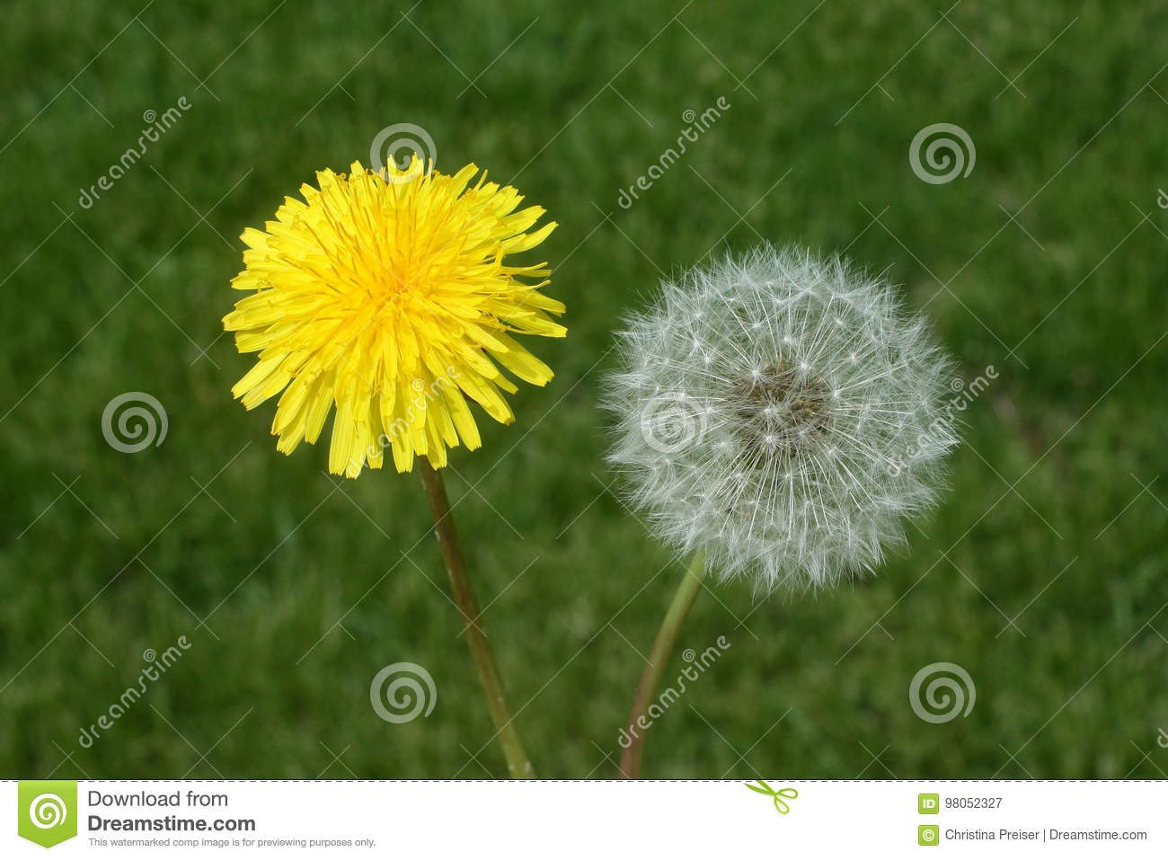 dandelion flower and seed head stock image - image of summer
