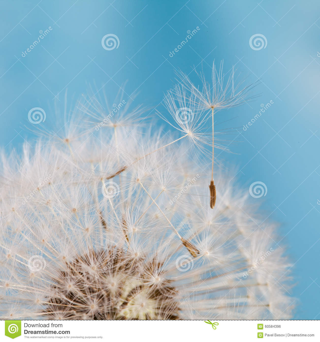 Dandelion Flower With Seeds. Blue Background. Macro View