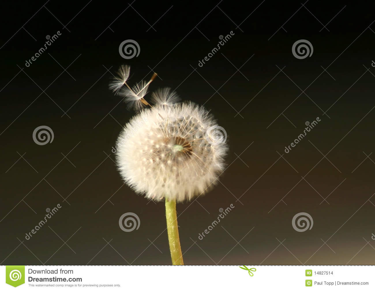 Dandelion Flower Spreading Seeds In The Wind Stock Images