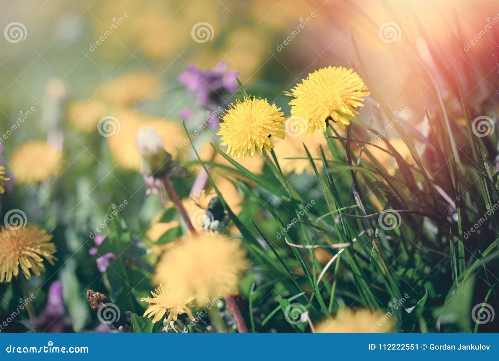 Dandelion flower in spring flowering dandelion flowers stock image royalty free stock photo izmirmasajfo