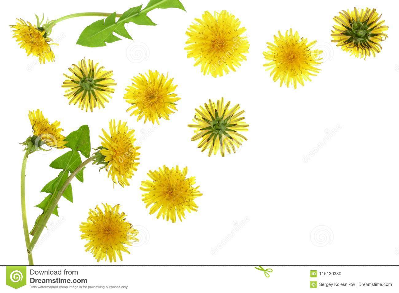 Dandelion flower or Taraxacum Officinale isolated on white background with copy space for your text. Top view. Flat lay