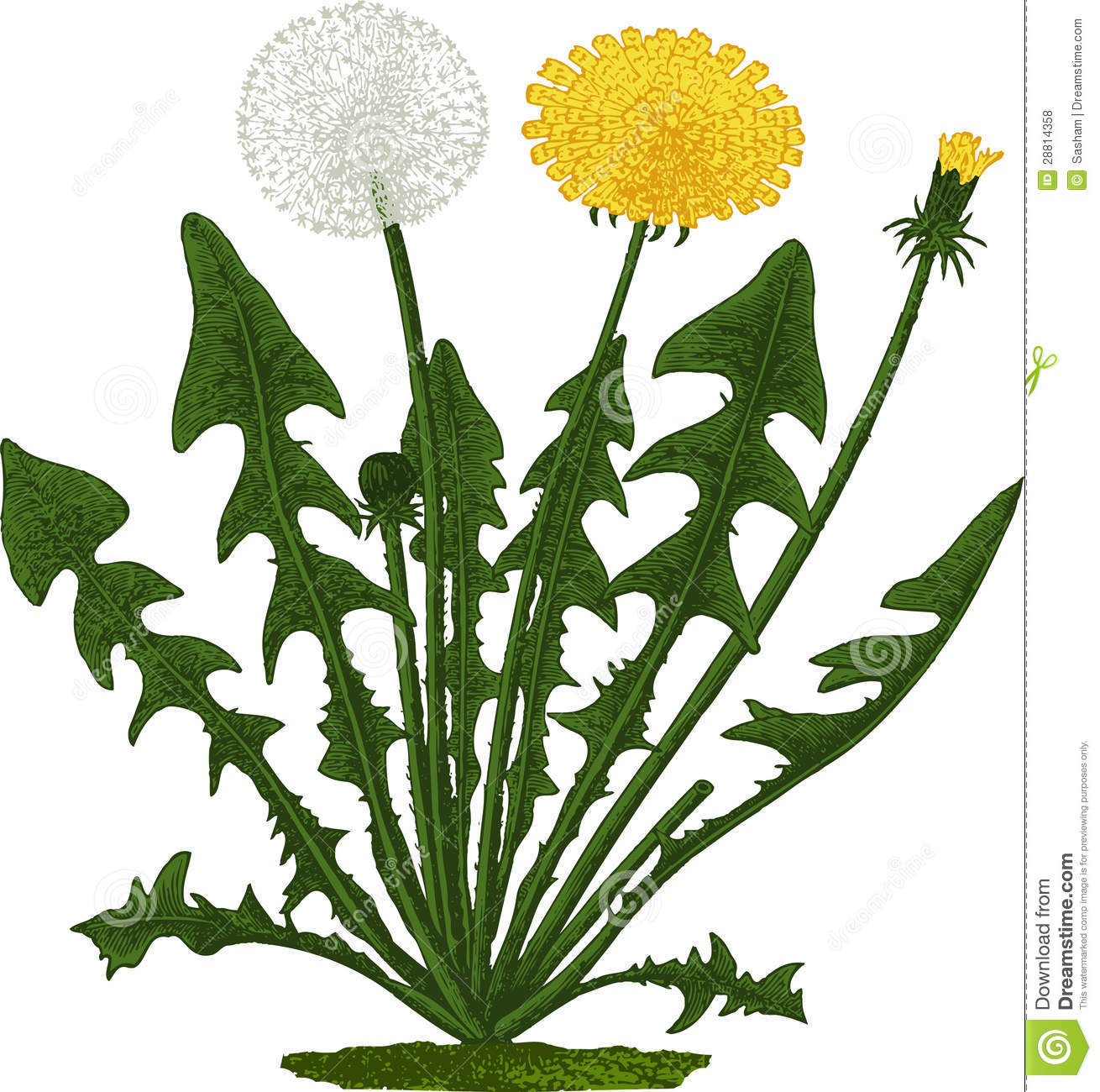 Camellia Illustration Dandelion Flower. Vect...