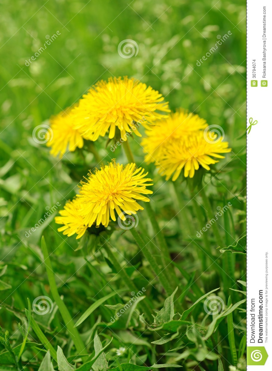 Dandelion flower stock photo image of landscape fresh 30794074 dandelion yellow flower growing in spring time on the green grass mightylinksfo