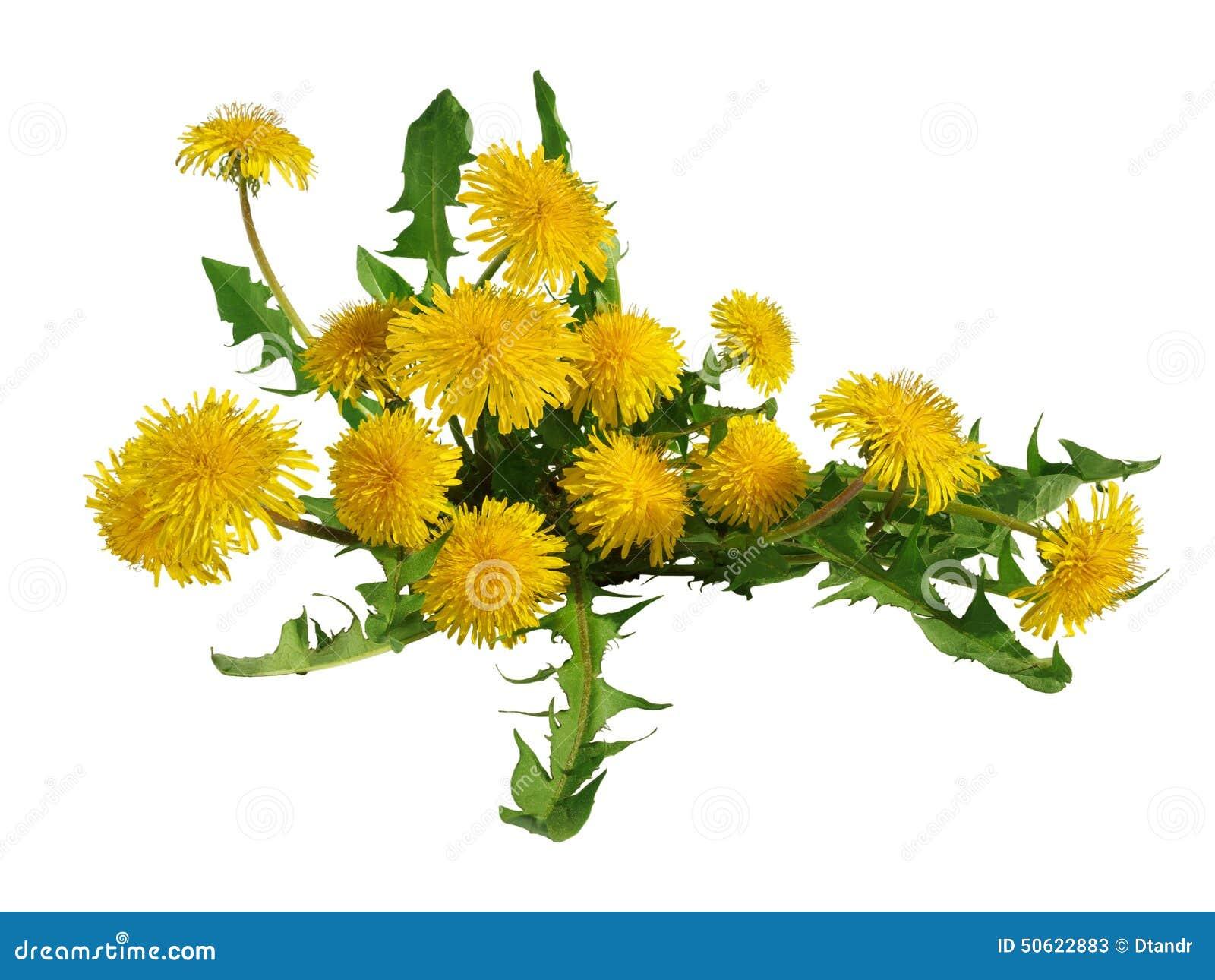 Dandelion flowers bush isolated.