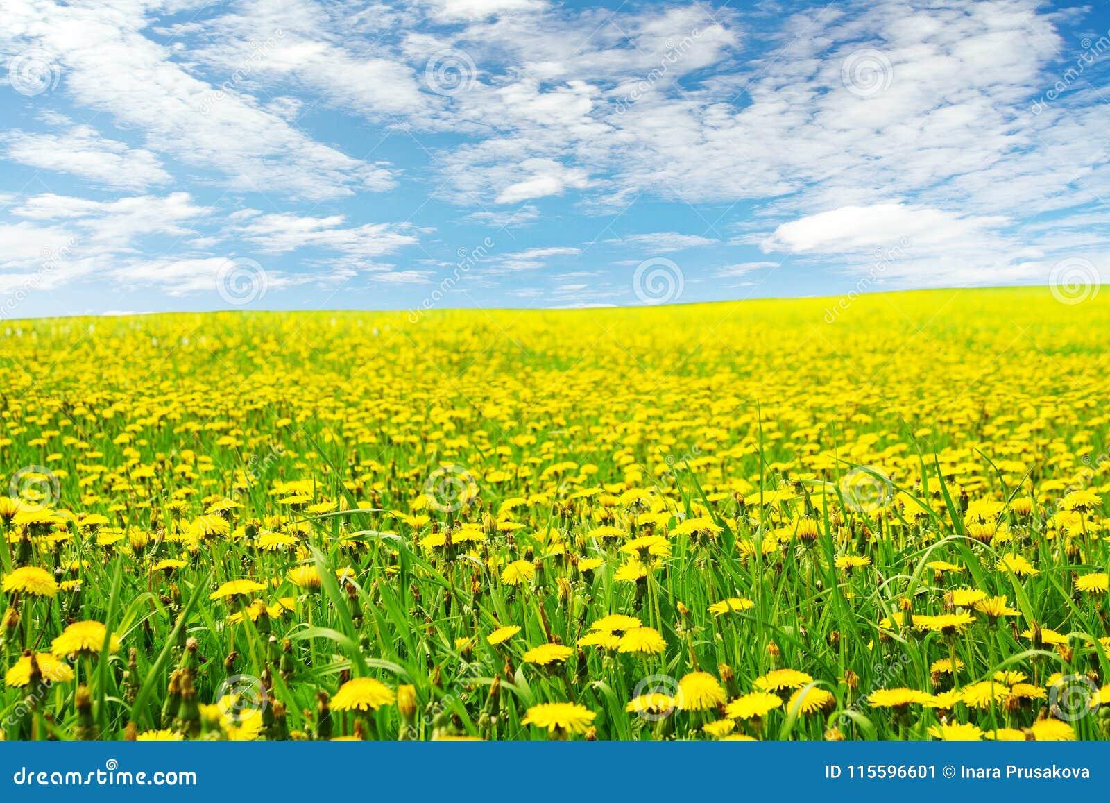 Dandelion Flowers Field Landscape, Yellow Dandelions Blossom