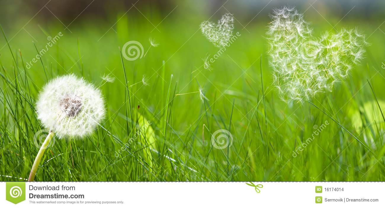 Dandelion Form A Flying Seeds In Hearts Form Stock Images