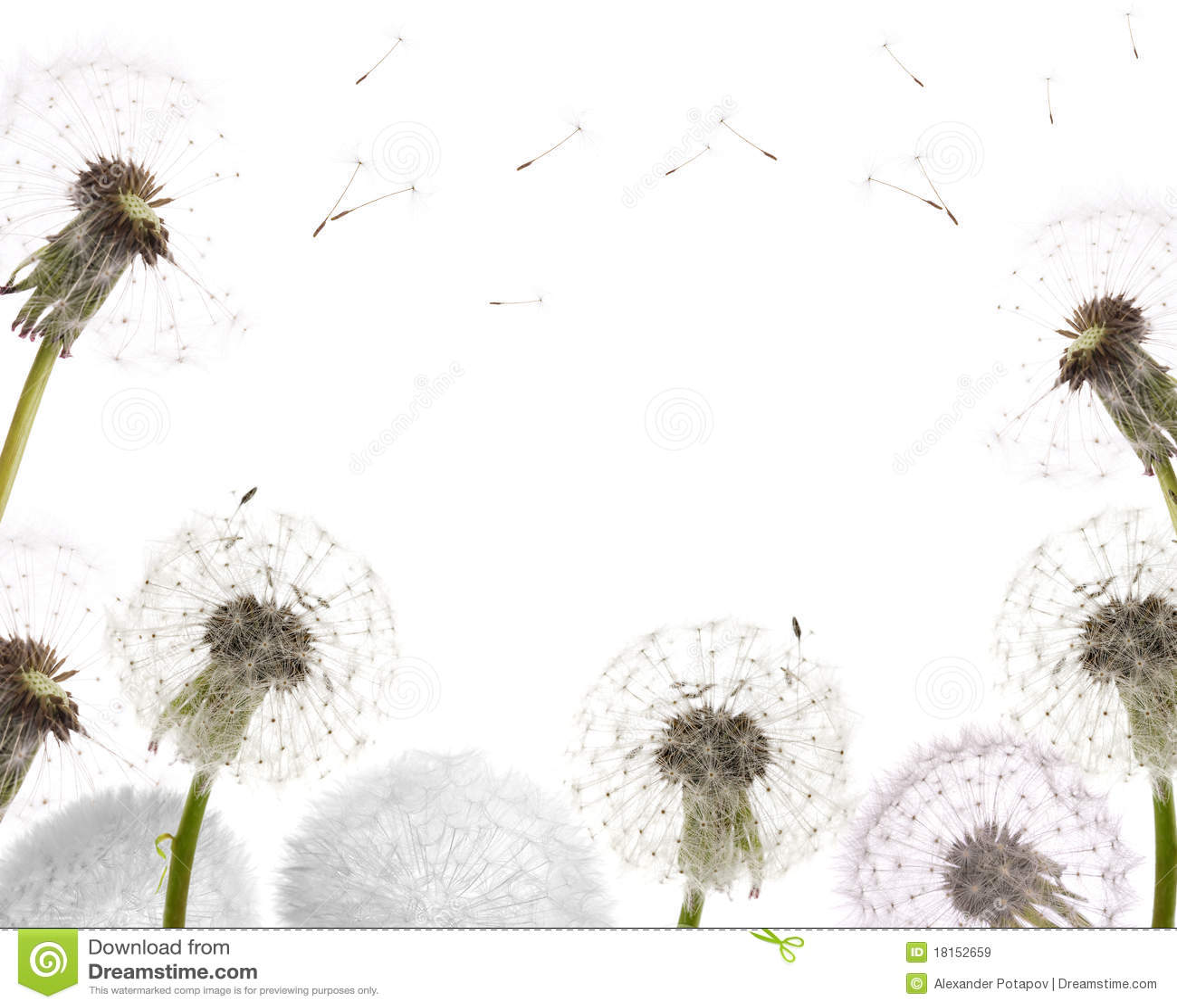 Dandelion frame isolated on white