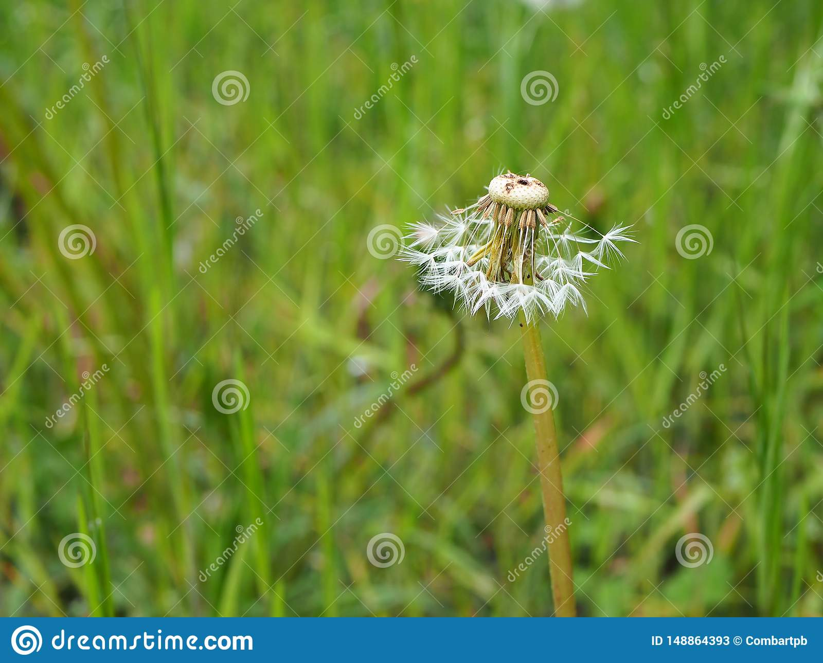 Dandelion in grass partly blown away by the wind