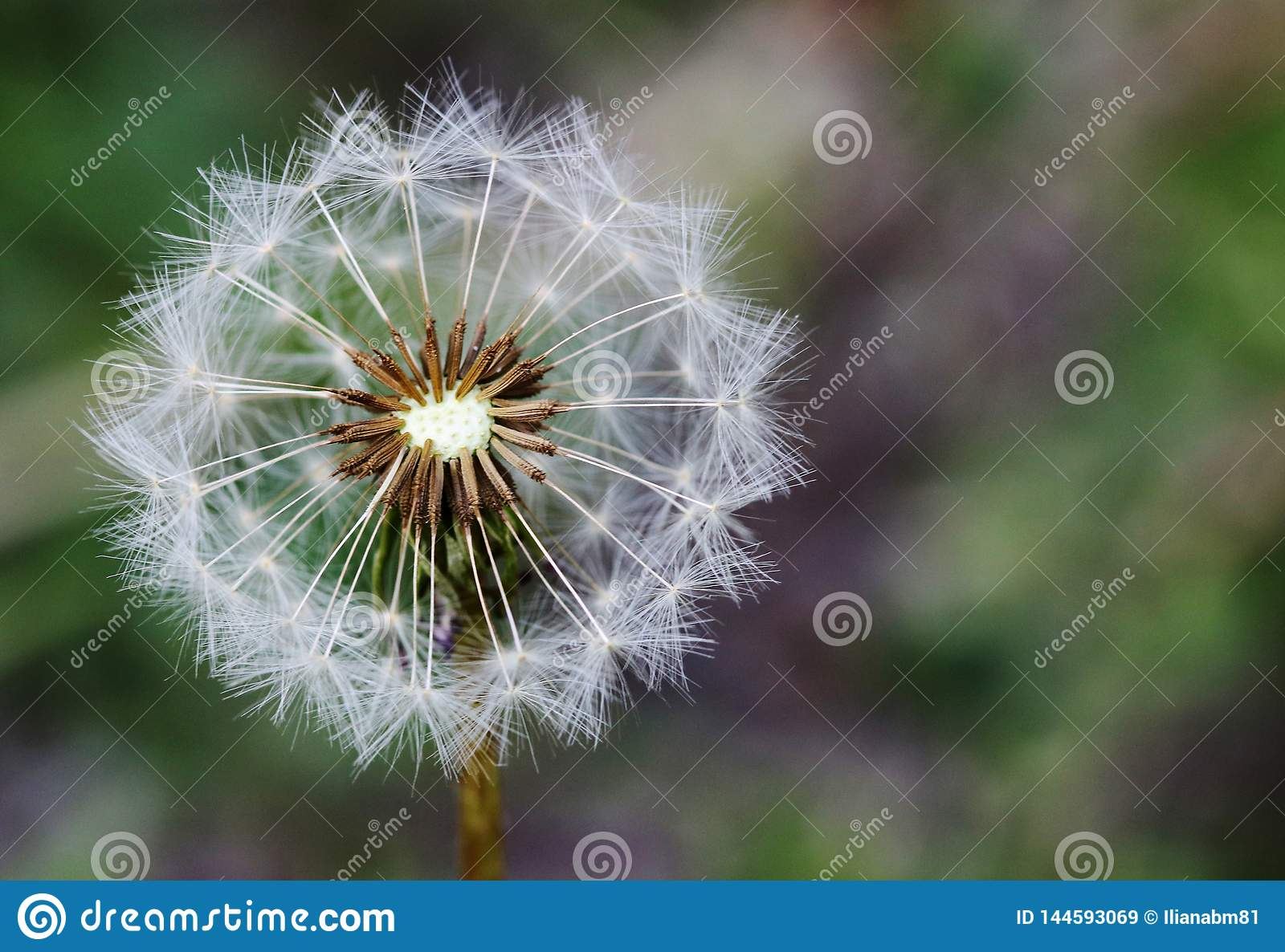 Dandelion on a green and grey bokeh