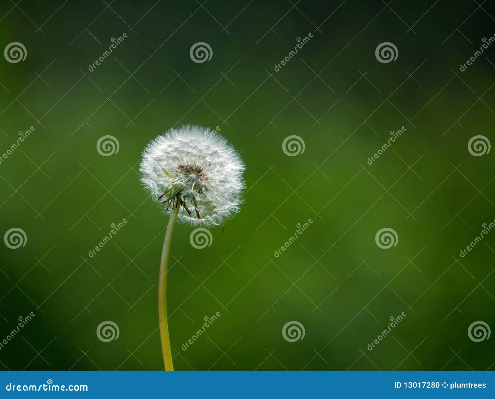 Dandelion head in a field