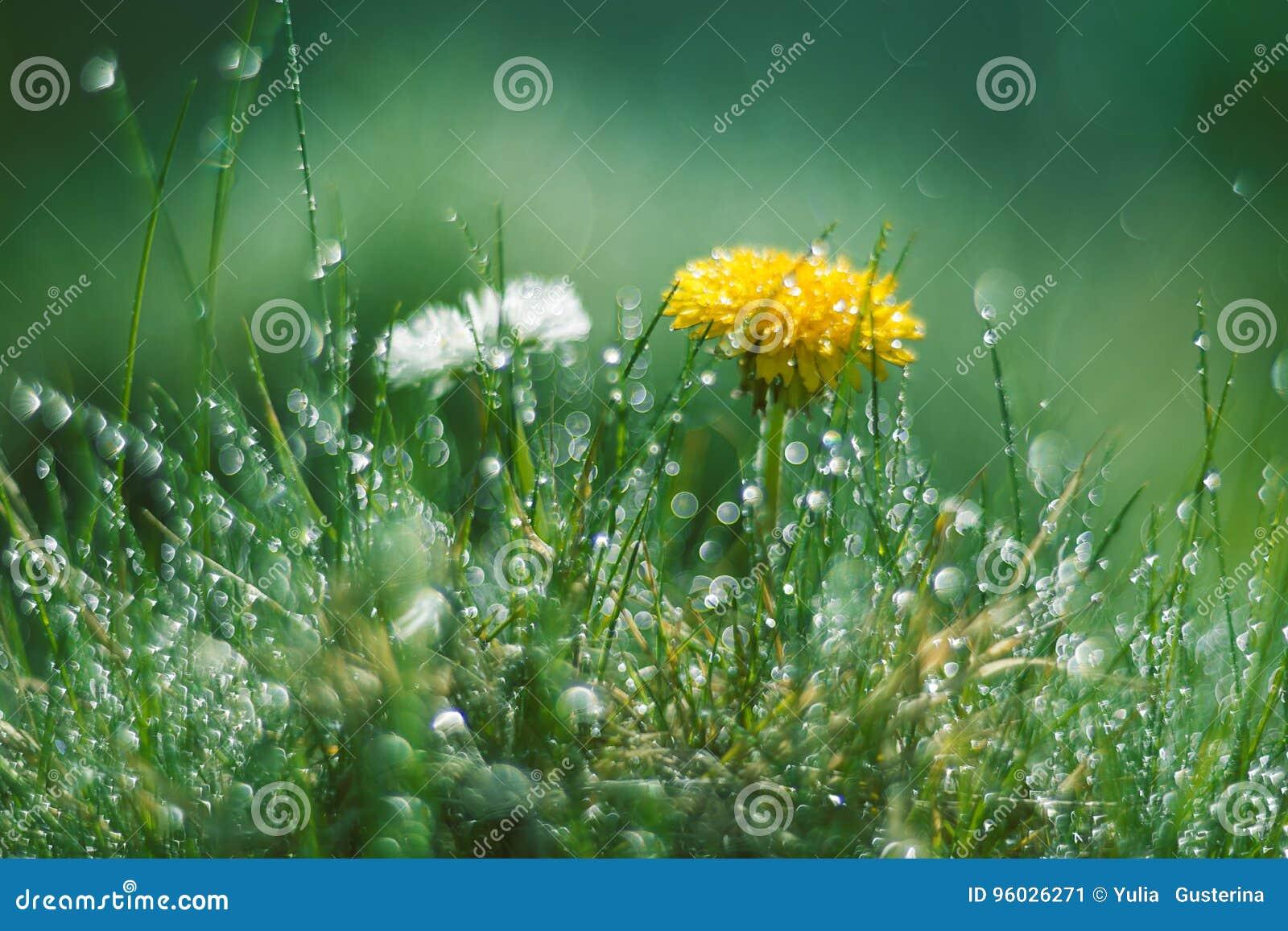 Dandelion i stokrotka w deszczu Makro- z pięknym bokeh