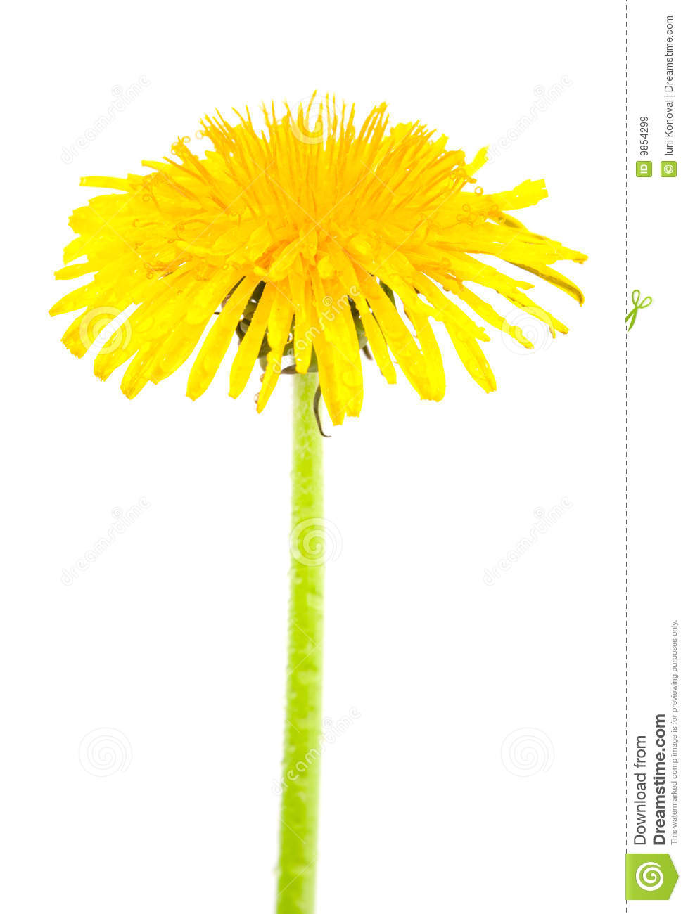 Dandelion isolated