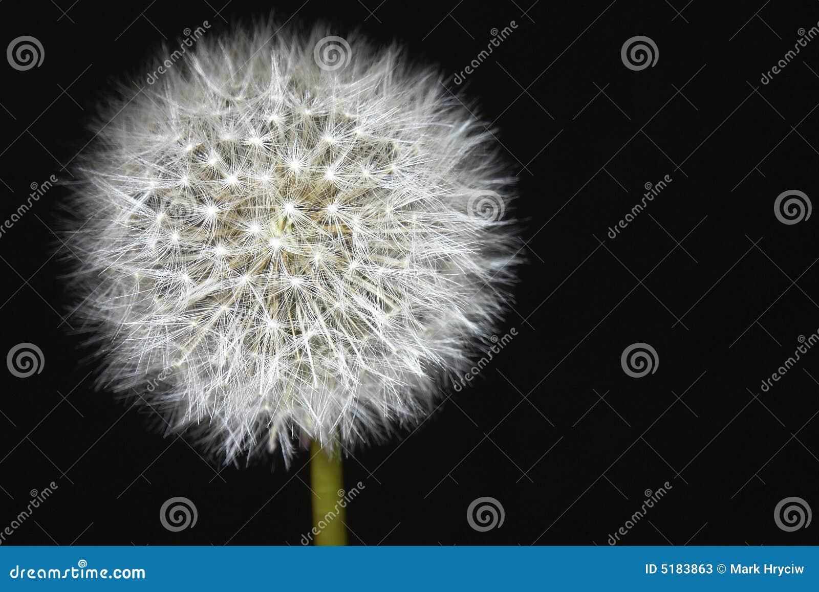 Dandelion Isolated Black Seed