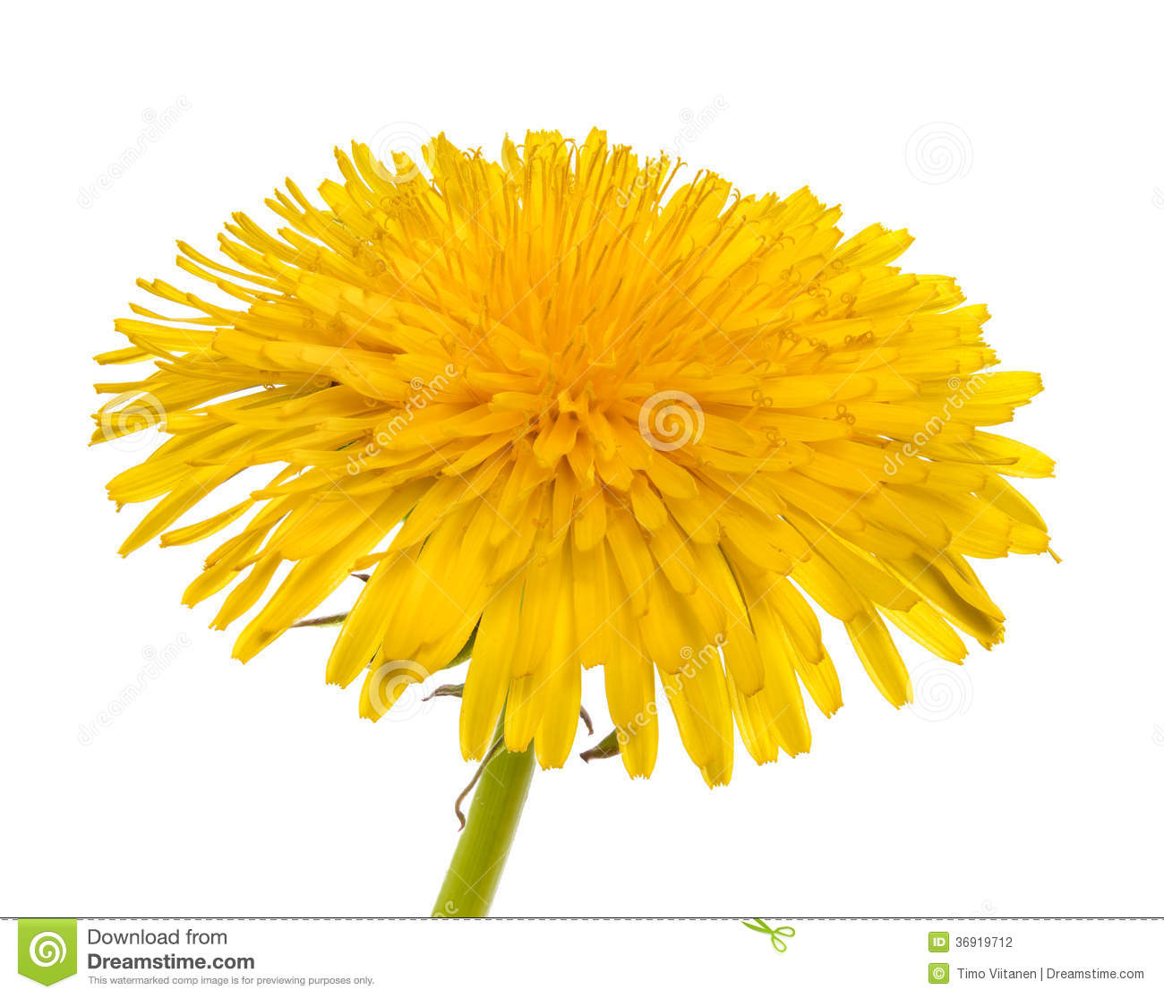 Dandelion Isolated Stock Photo. Image Of Close, Herb