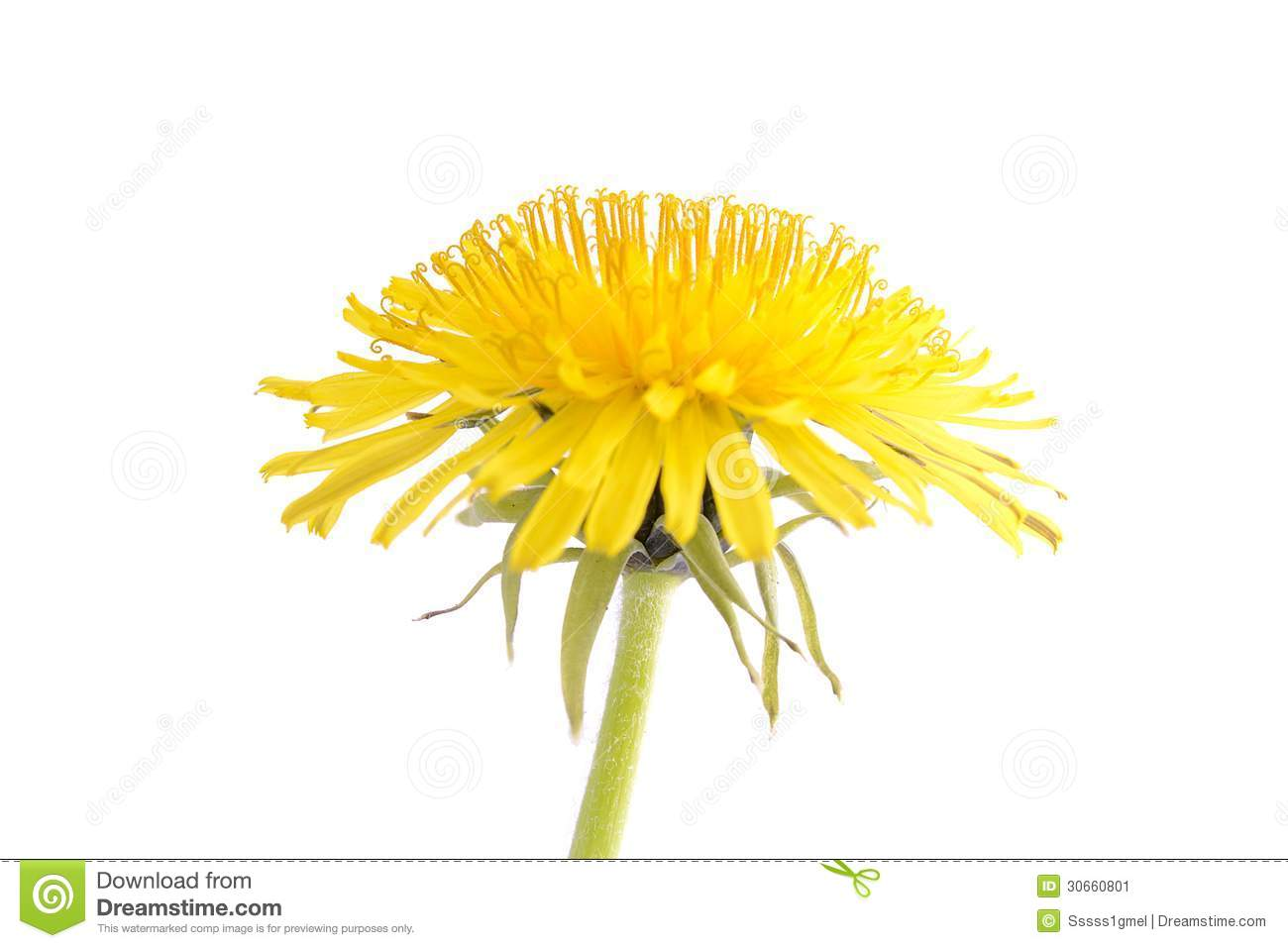 Dandelion isolated on a white background