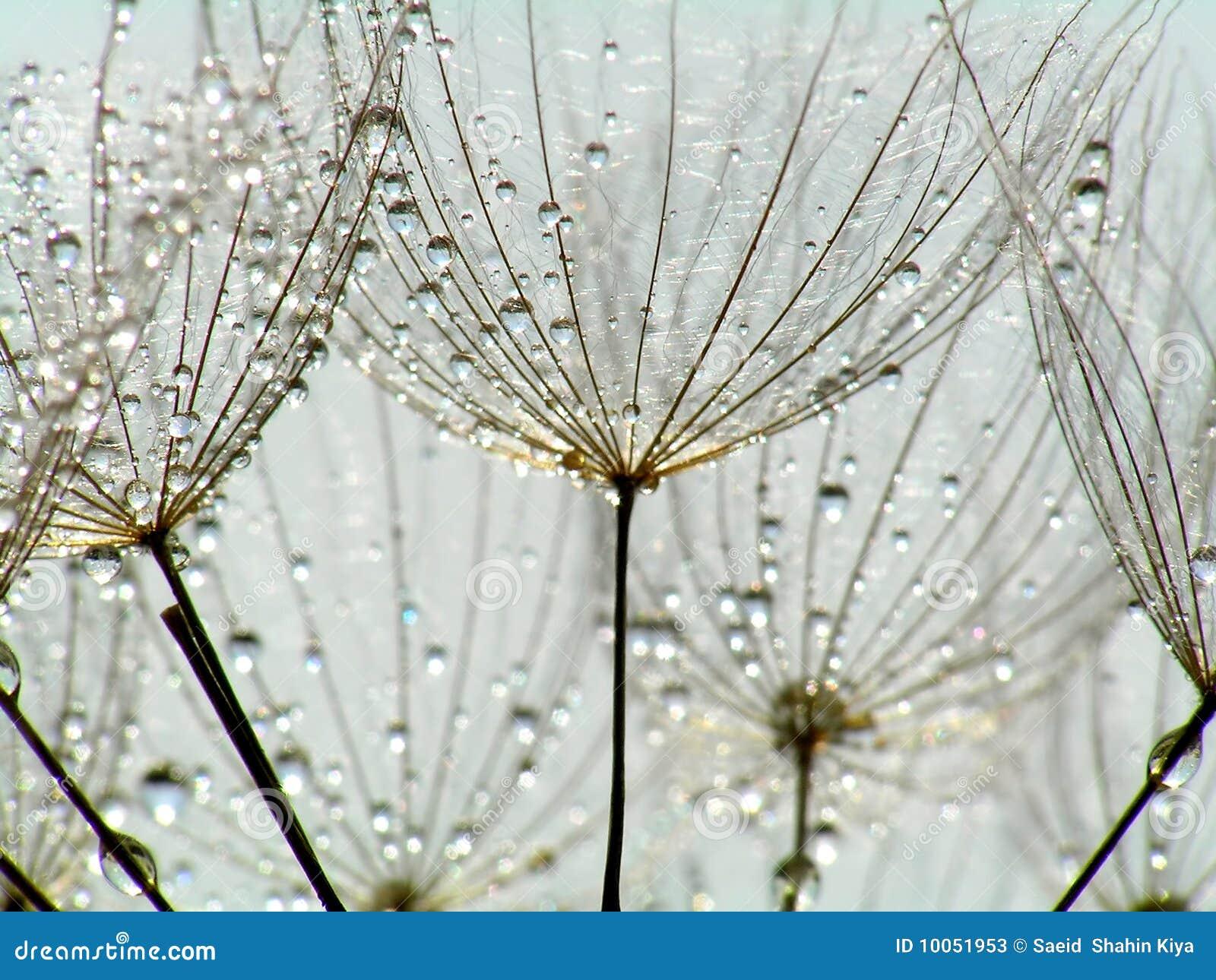 Dandelion kropelki