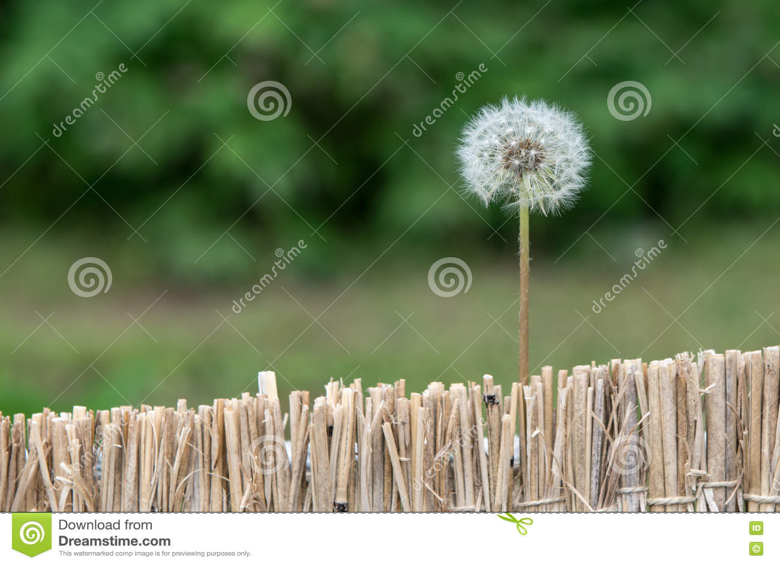 Dandelion kwiat