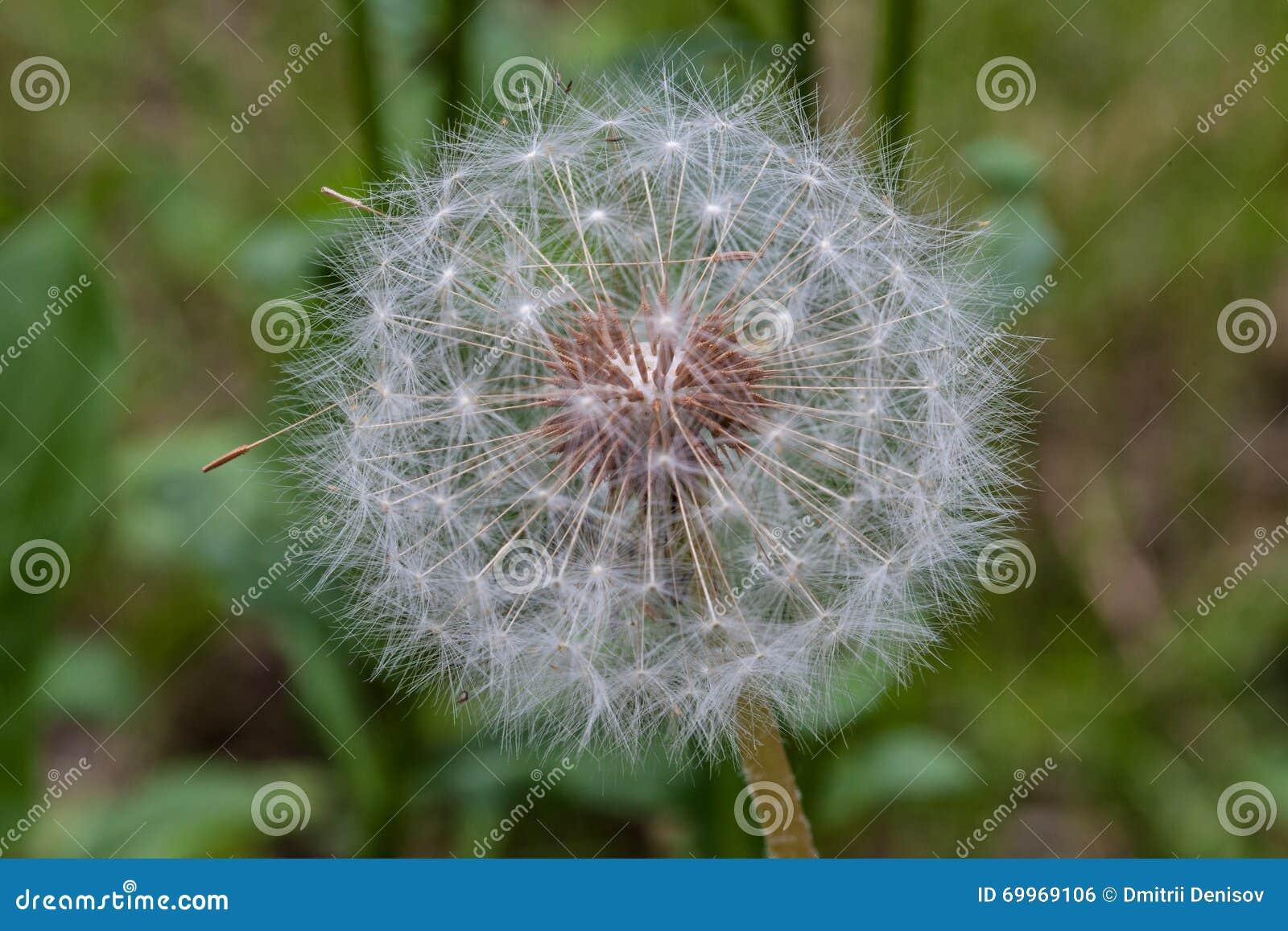 Dandelion kwiat przygotowywający emitować ich ziarna