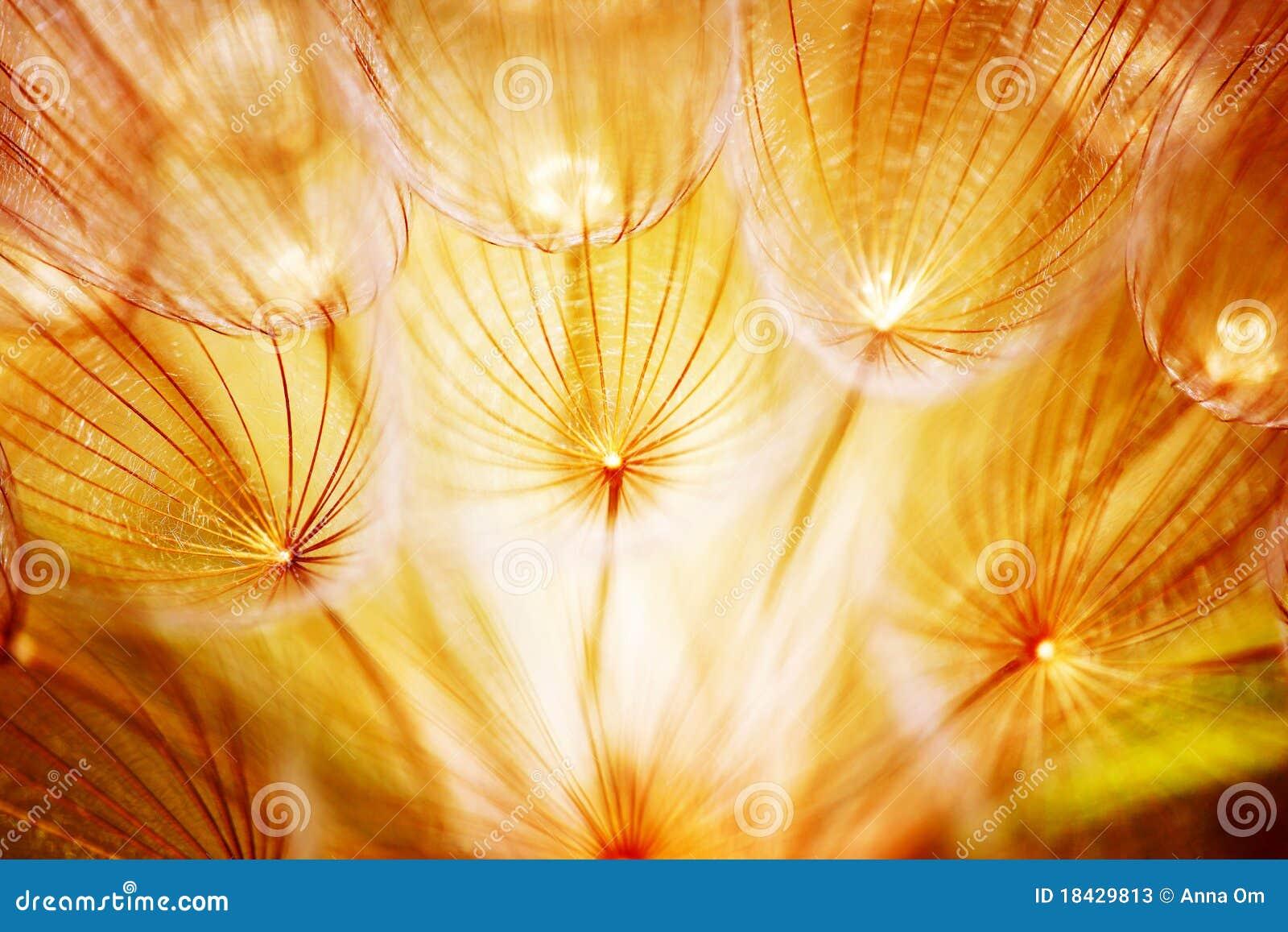 Dandelion kwiatu miękka część