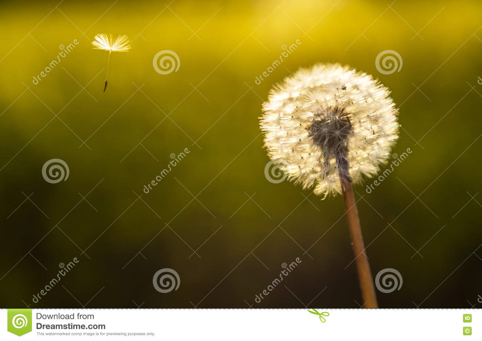 Dandelion kwiatu zegar i Jeden ziarno