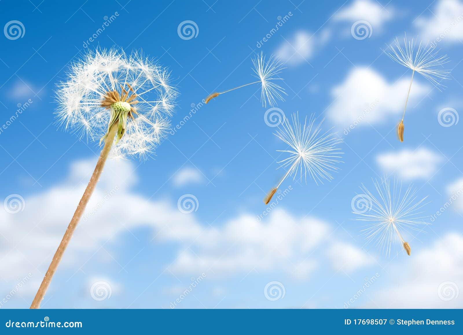 Dandelion latający ziaren nieba wiatr