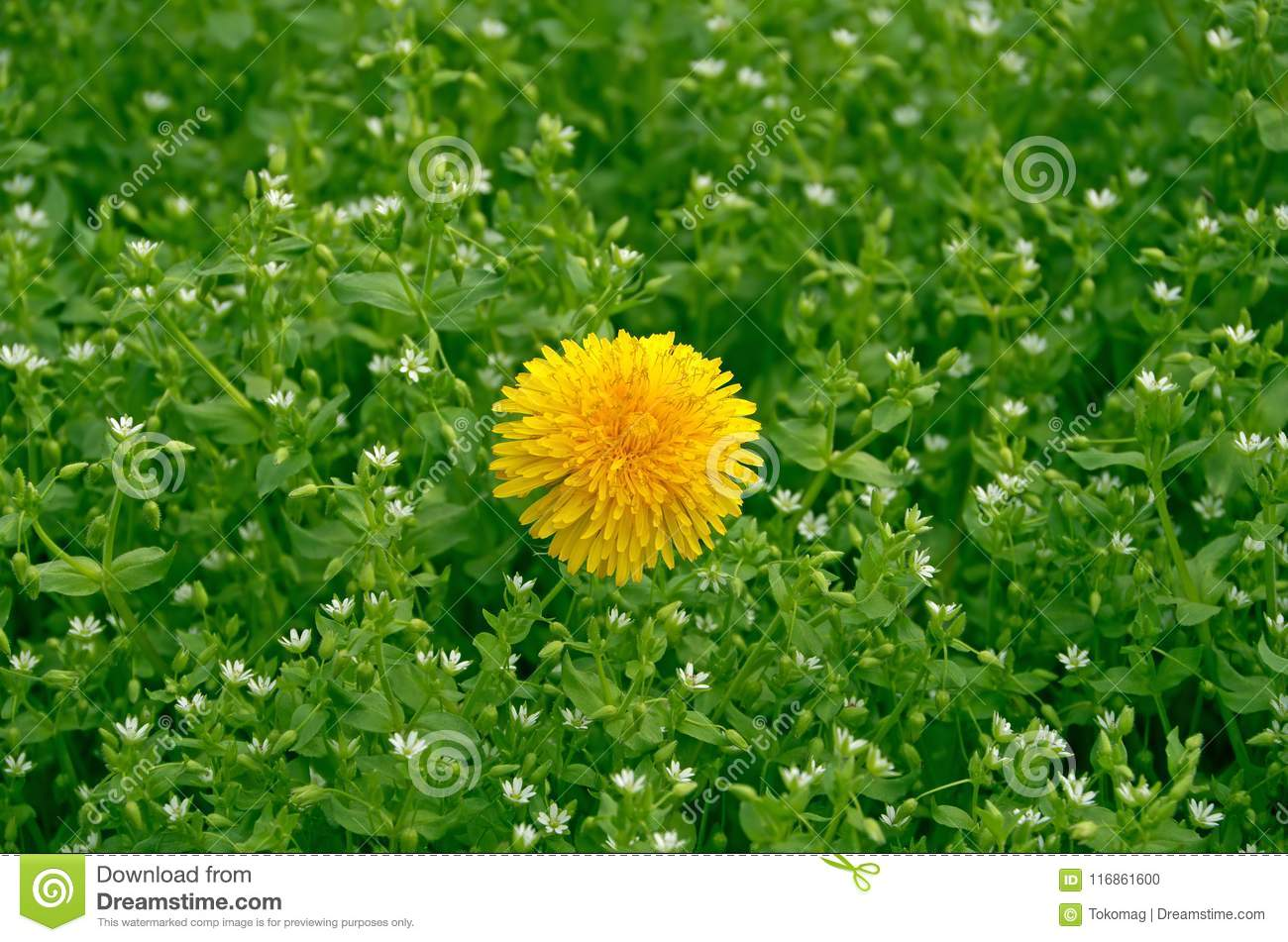 Dandelion On Lawn Stock Photo Image Of Closeup Growth 116861600