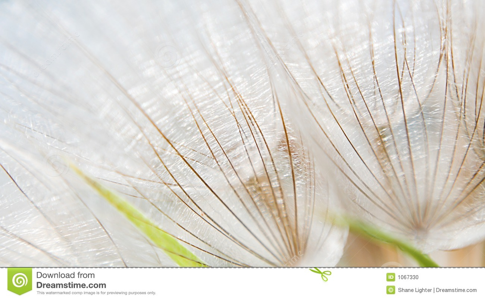 Dandelion macro.