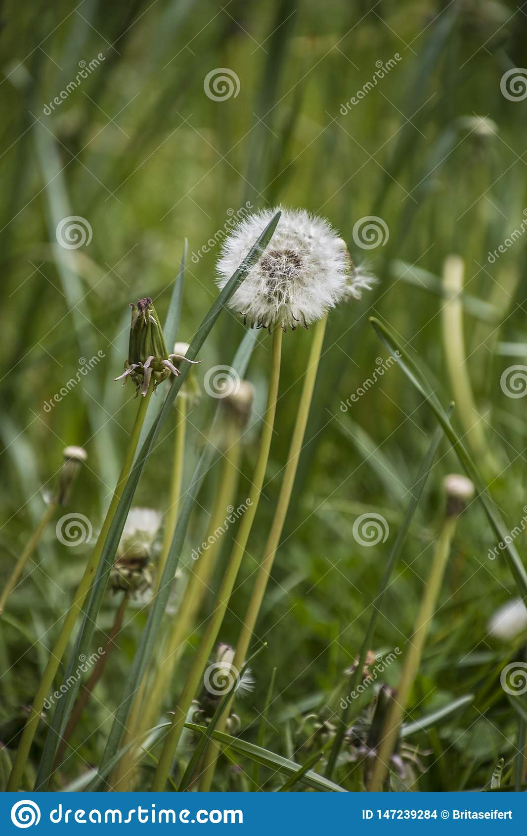 Dandelion on the meadow.Spring day. Overgrown with green grass meadow, among the grasses you can see numerous developed dandelions