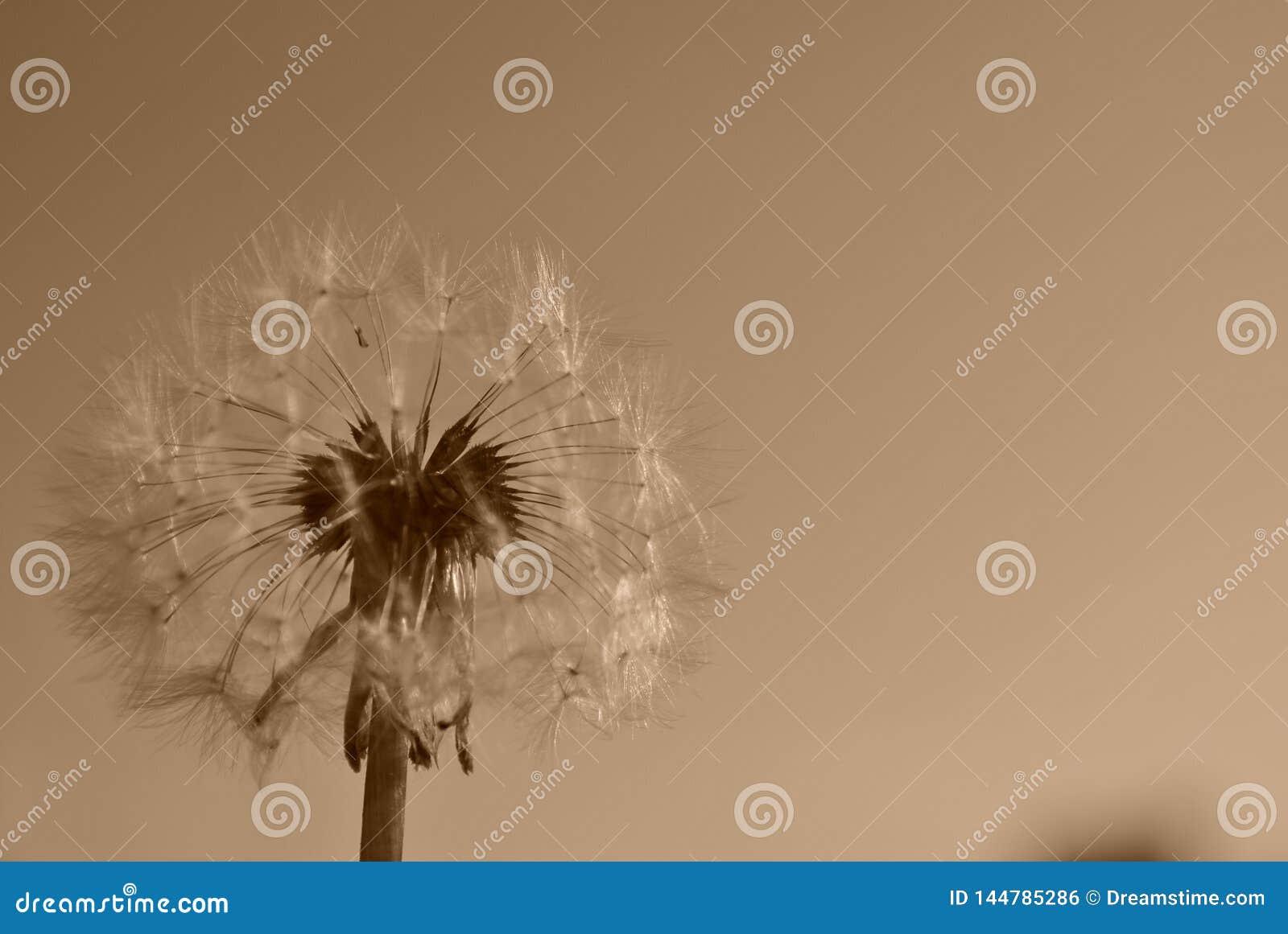 Dandelion na tle z sepiowym brzmieniem