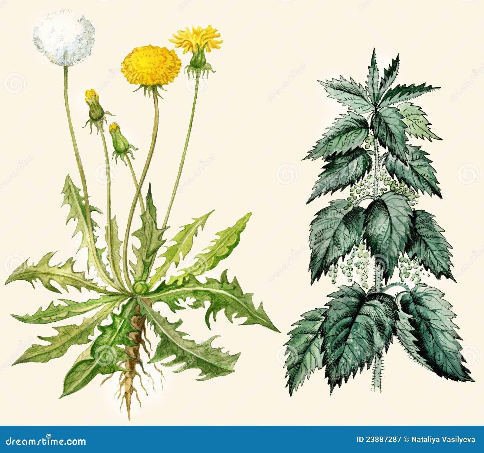 Dandelion and nettle