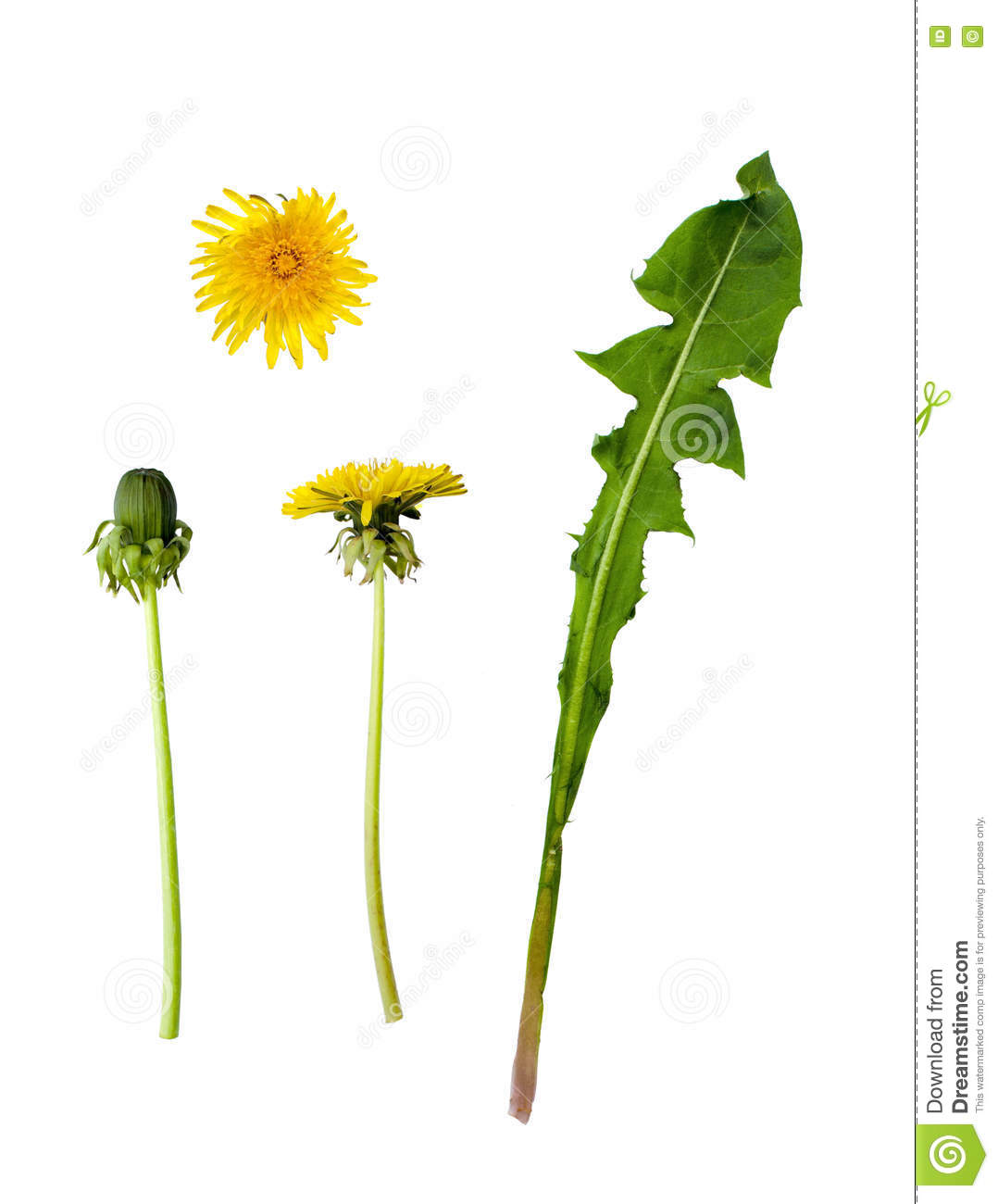 Dandelion parts isolated on white background stock photo image of royalty free stock photo izmirmasajfo Gallery