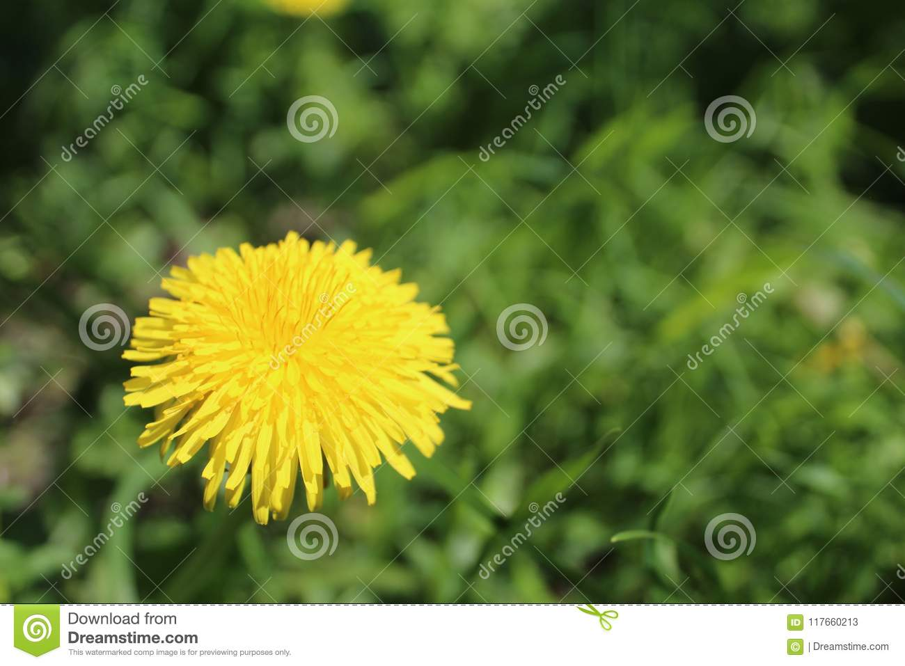 Dandelion Is A Perennial Plant With Yellow Flowers Stock Image