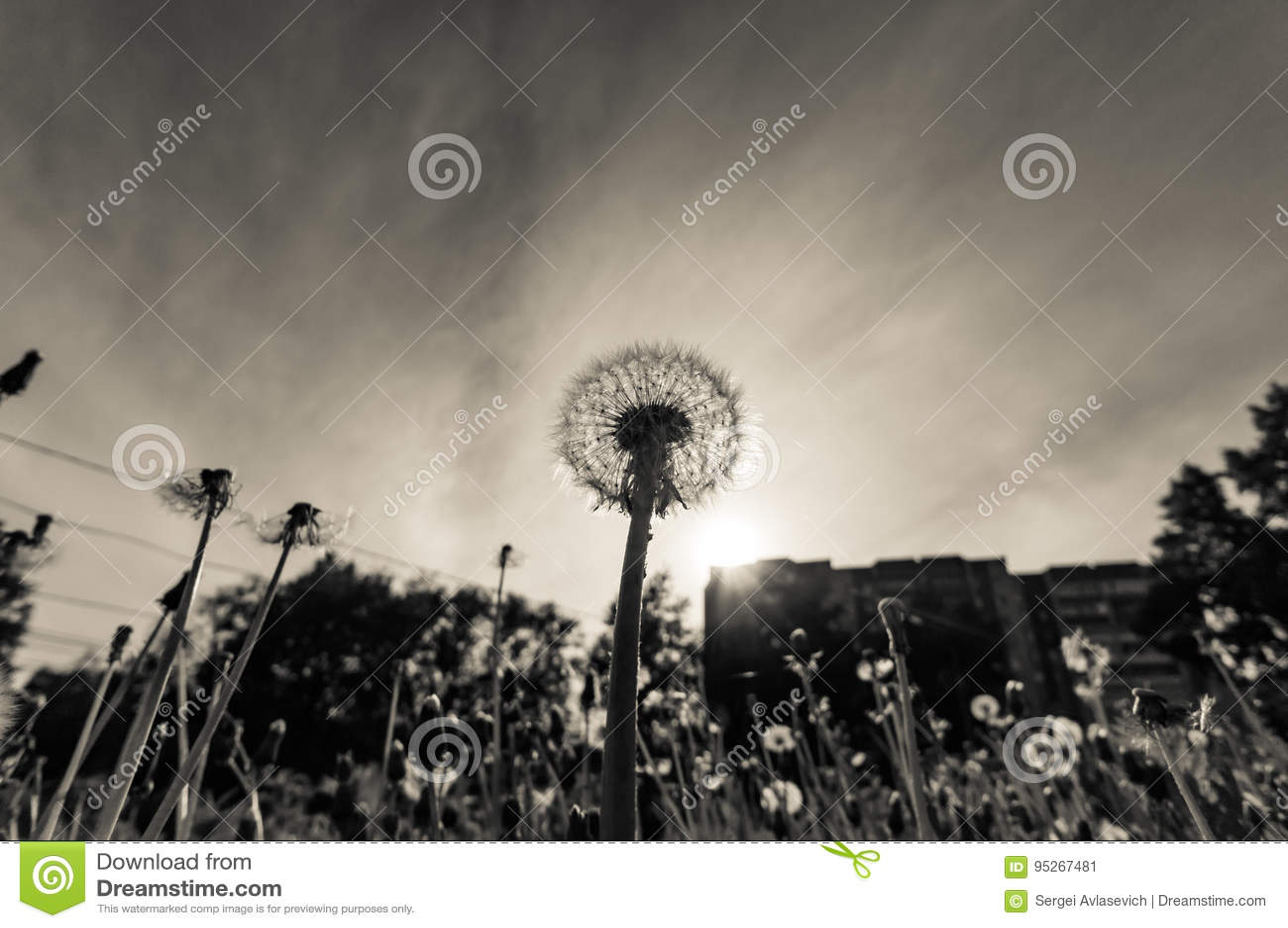 Dandelion przy zmierzchem