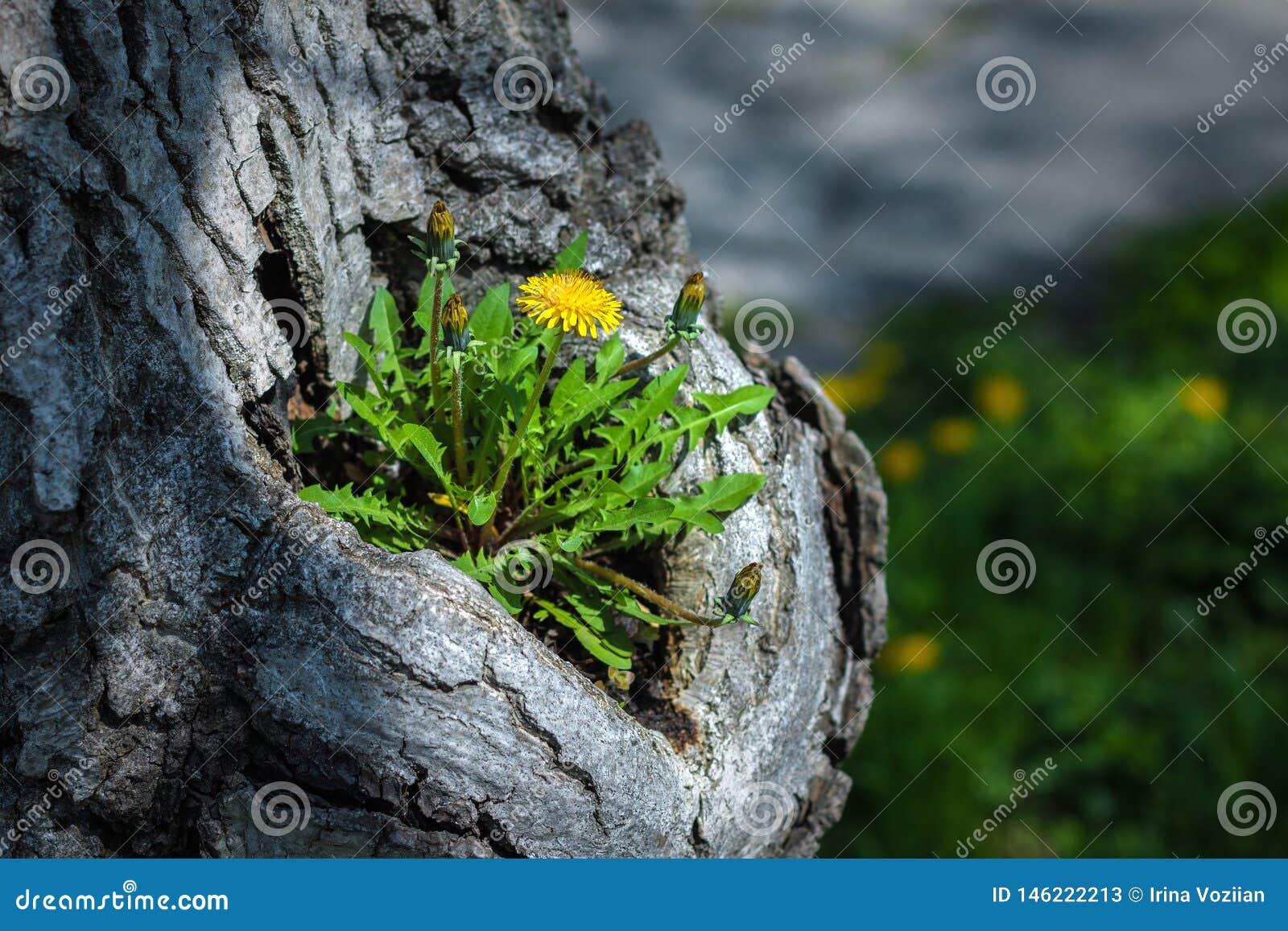 Dandelion r o stary drzewo