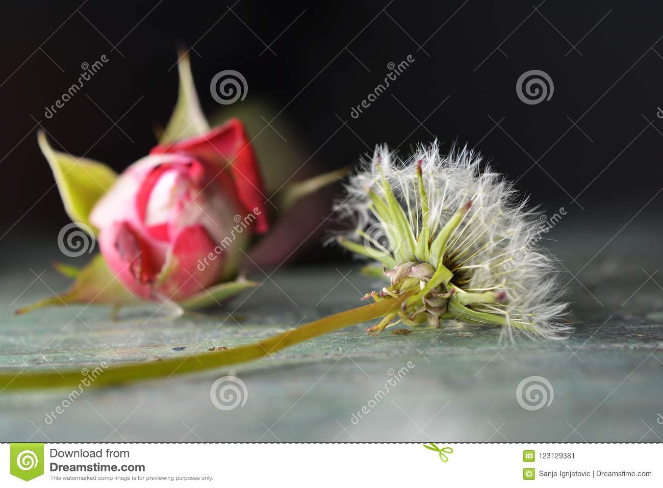 A dandelion and a rose