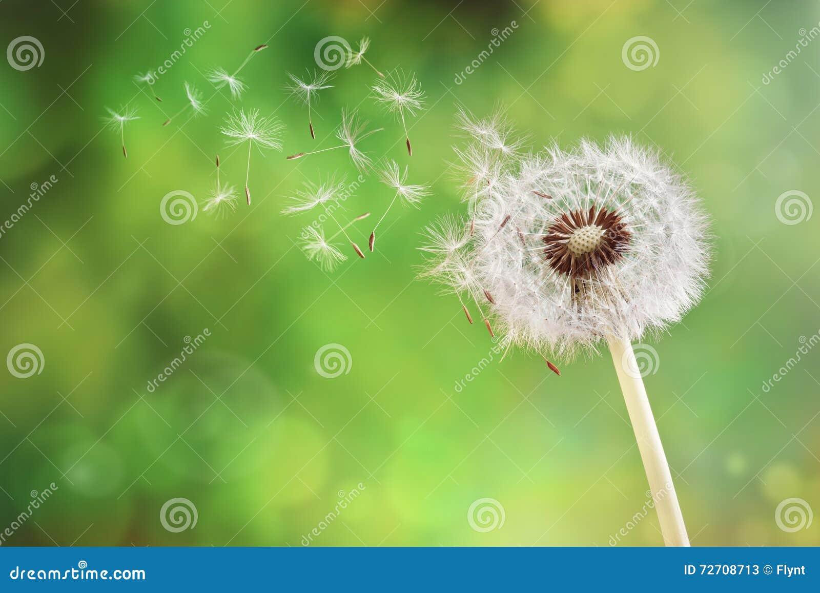 Dandelion rozpierzchania zegarowy ziarno