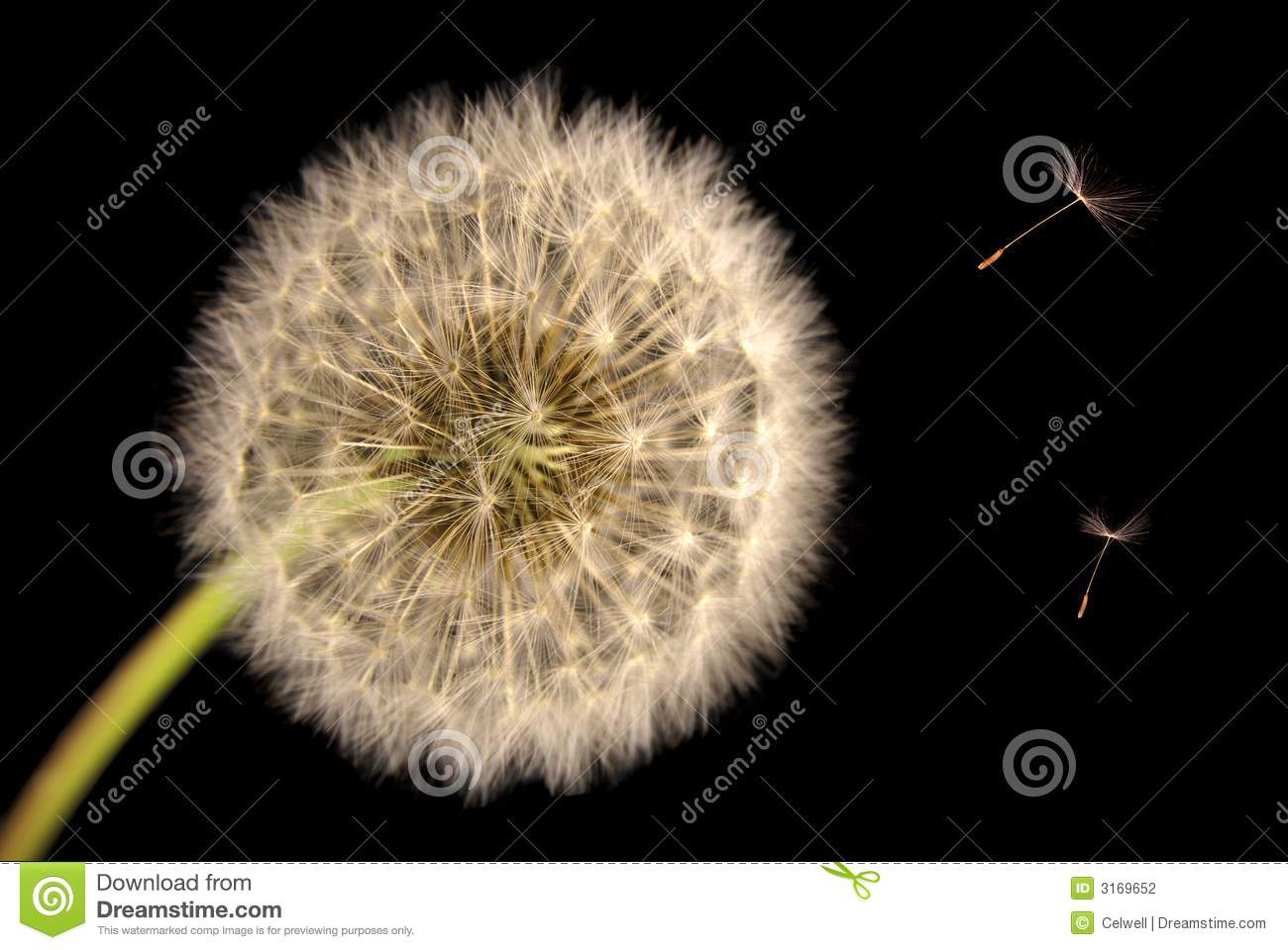 how to draw a dandelion seed head