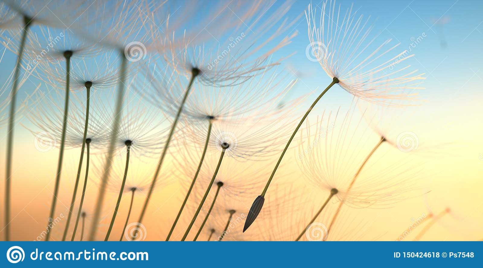 Dandelion seeds in the evening sun