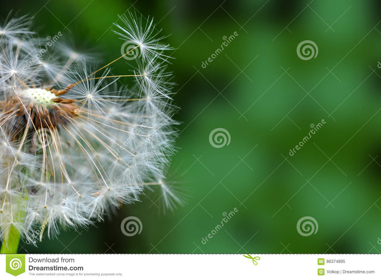 Dandelion and seeds closeup over nature