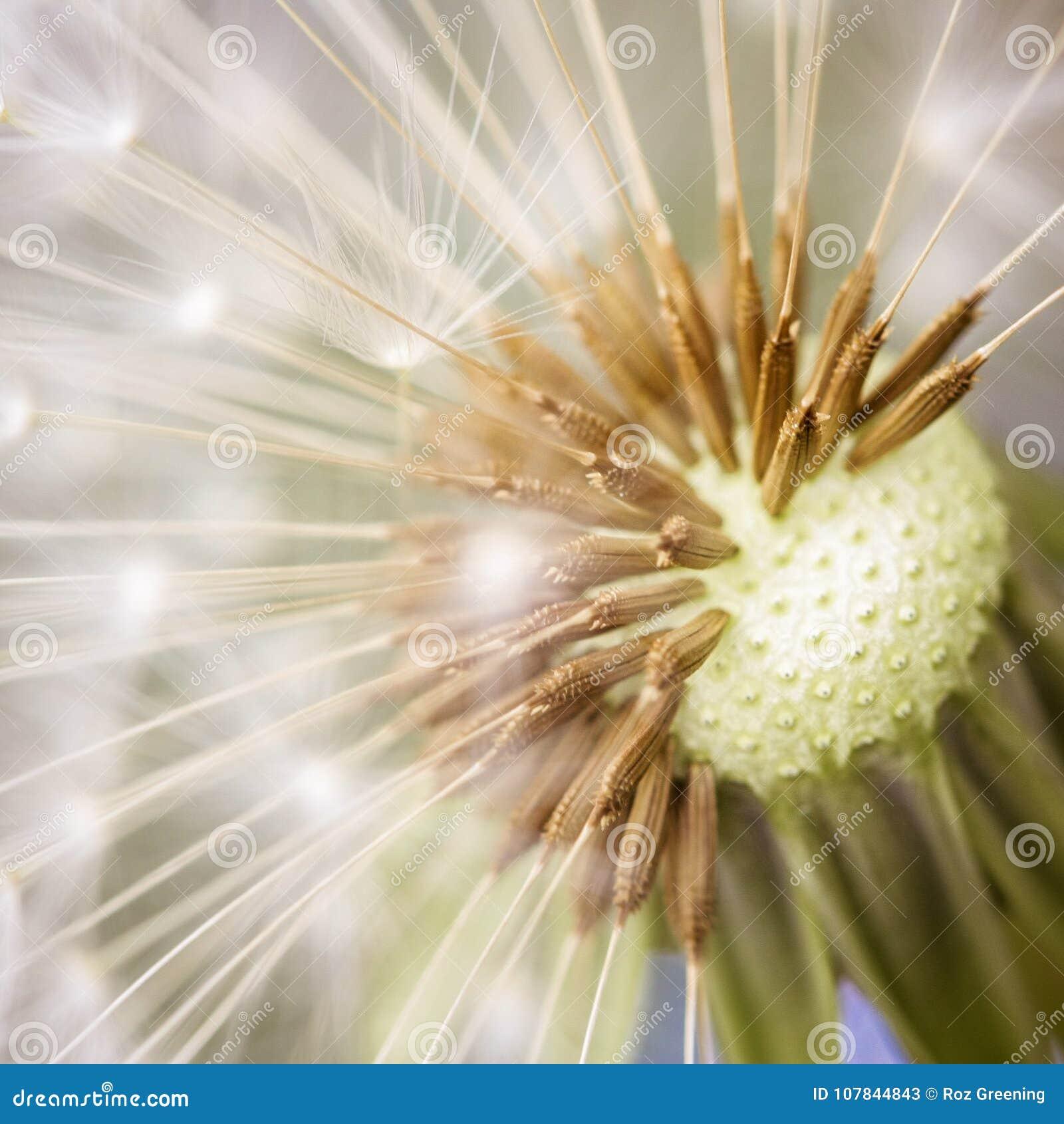Dandelion seeds incredible detail