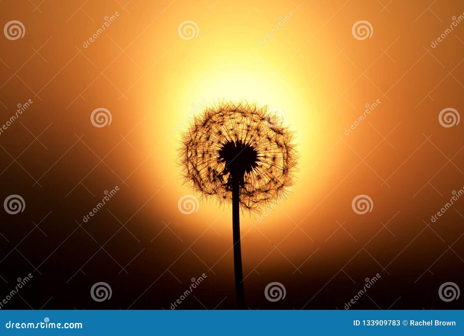 Dandelion silhouette against a sunset