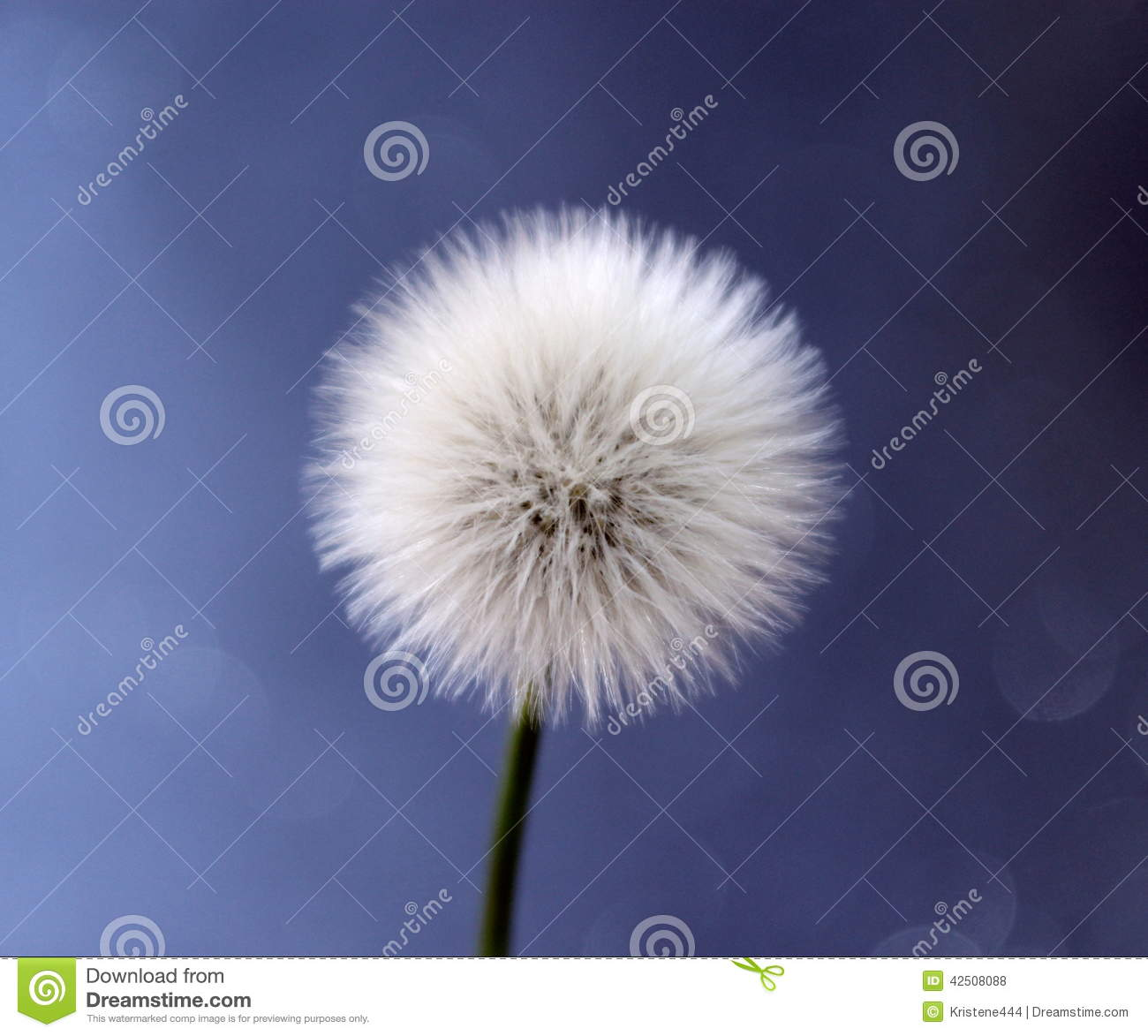 Dandelion Stock Photo. Image Of Plant, Garden, Abstract