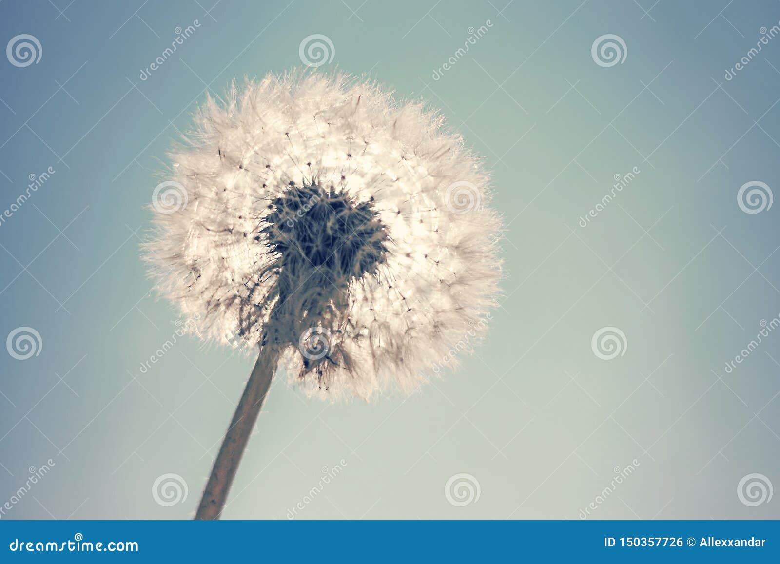 Dandelion Sun and Blue Sky background, Close Up Dandelion