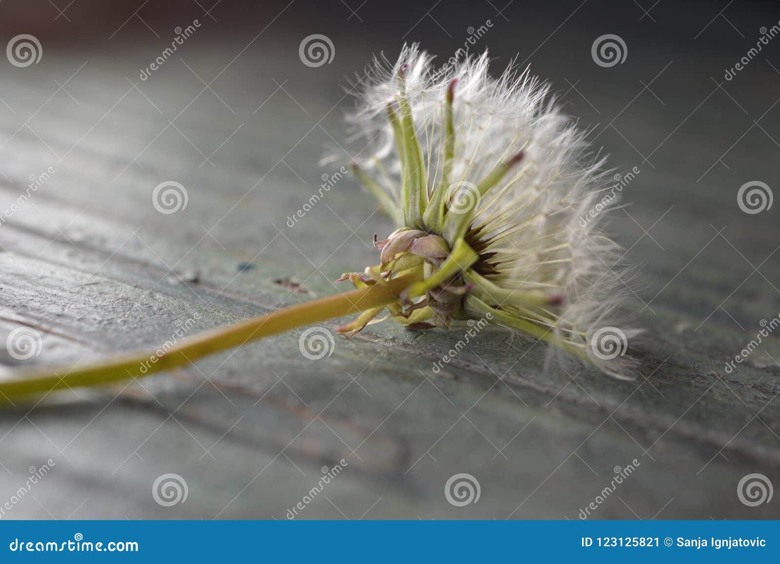 Dandelion on a table